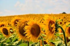 Reflexiones de oro en la salida del sol - girasoles y abejas Foto de archivo