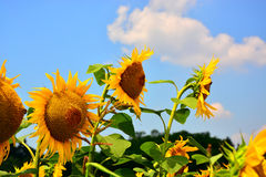 Reflexiones de oro en la salida del sol - girasoles y abejas Fotos de archivo libres de regalías