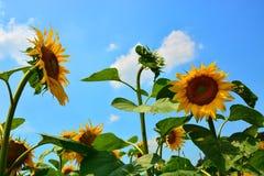 Reflexiones de oro en la salida del sol - girasoles y abejas Imagen de archivo