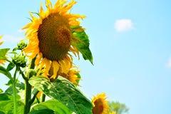 Reflexiones de oro en la salida del sol - girasoles y abejas Fotografía de archivo