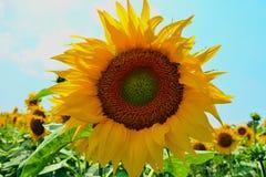 Reflexiones de oro en la salida del sol - girasoles y abejas Imagen de archivo libre de regalías