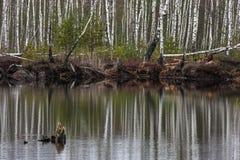 Reflexiones del abedul en agua Imagen de archivo libre de regalías