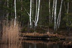 Reflexiones del abedul en agua Imágenes de archivo libres de regalías