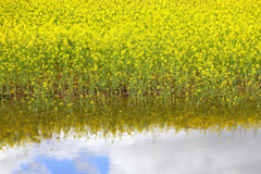 Reflexiones del Canola y del agua Foto de archivo libre de regalías