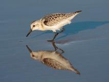 Reflexiones del Sanderling Fotos de archivo