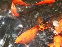 Reflexions-Teich mit Japaner Koi Symbolism Stockbilder