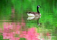 reflexionsfjäder Royaltyfria Bilder