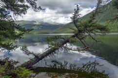 Reflexionsträd i Pozarym sjön, västra Sayan Arkivbilder