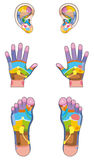Reflexology Zones Ears Hands Feet Stock Photography