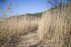 Reed forest on refne Stock Photo