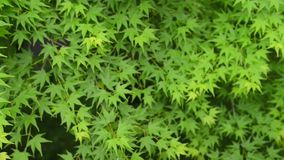 Refocused to focus green maple leaves background pattern stock video footage