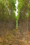 Reforestation of eucalyptus Stock Photos