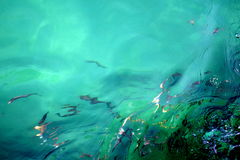 Refracted fish in turquoise water Royalty Free Stock Image