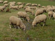 Refresco para las ovejas Imagenes de archivo