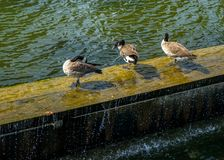 Refresh hour. In Montreal Old Port, Canadian goose refresh themselves by a hot summer day stock photo