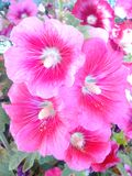 Pink blossom. Flowers bloom indoor Royalty Free Stock Photo