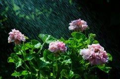 Refreshing geraniums Royalty Free Stock Image