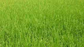 Refreshing green paddy field, fresh rice tree leaves, under bright afternoon sunlight of a summer time in the North of Thailand.  stock footage