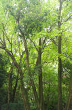 Refreshing green tall trees. In vertical framing Royalty Free Stock Photography