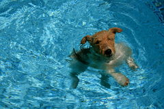 Refreshing swim. A young dog swimming in the pool on a hot day Stock Photo