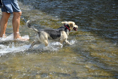 Refreshing walk in river in hot sommer. With dog Stock Image