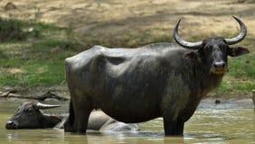 Refreshment of Water buffalos. Bubalus arnee migona,. Refreshment of Water buffalos.  Female and  calf of water buffalo bathing in the pond in Sri Lanka. The Sri Stock Images