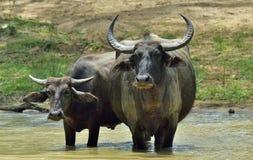 Refreshment of Water buffalos. Bubalus arnee migona,. Refreshment of Water buffalos.  Female and  calf of water buffalo bathing in the pond in Sri Lanka. The Sri Stock Image