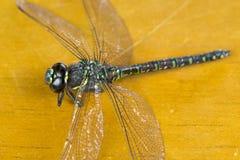 Refrigeración de la libélula Fotos de archivo
