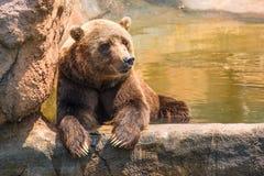 Refrigeración del oso grizzly del parque zoológico Imágenes de archivo libres de regalías