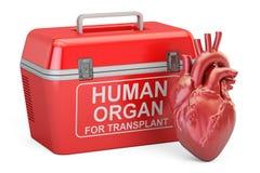 Refrigerador portátil para transportar os órgãos fornecedores com coração humano, ilustração stock