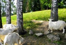 Refrigerazione delle capre Fotografia Stock