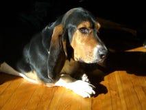 Refrigerazione di basset hound Fotografia Stock Libera da Diritti
