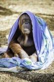 Refroidissement de Bornean Orangutam Photos stock