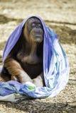 Refroidissement de Bornean Orangutam Image libre de droits