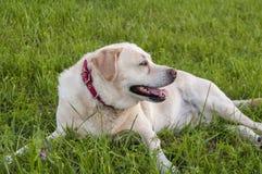 Refroidissement de Labrador Images stock