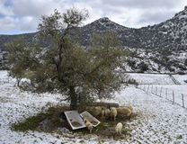 Refugees. Set of sheep shelter from the storm of snow under a tree Stock Photo