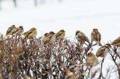 Refugio de la pequeña familia de pájaros indefensa del gorrión Fotos de archivo