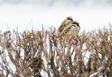 Refugio de la pequeña familia de pájaros indefensa del gorrión Foto de archivo libre de regalías