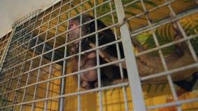 Refugio para animales, mono en una jaula almacen de metraje de vídeo