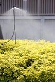 Regadera que riega las flores del amarillo. Foto de archivo libre de regalías