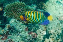 Regal angel fish. Swimming among corals Royalty Free Stock Photography