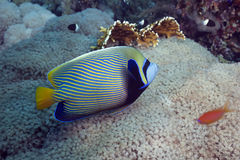 Regal angelfish Stock Images
