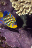 Regal angelfish Stock Image