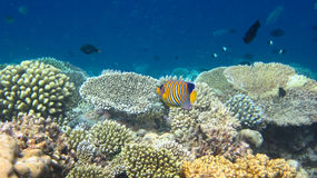 Regal Angelfish. Photo of Coral colony and Regal Angelfish, Maldives Stock Photography