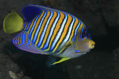 Regal angelfish Royalty Free Stock Photography