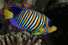 Regal angelfish Stock Photos