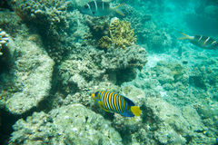 Regal Angelfish, Corals and yellow fish Royalty Free Stock Images