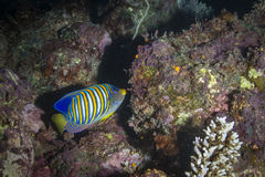 Regal Angelfish. In the Great Barrier Reef Royalty Free Stock Image