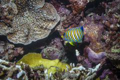 Regal Angelfish. In the Great Barrier Reef Royalty Free Stock Photos