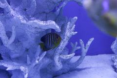 Regal angelfish hiding among the corals Royalty Free Stock Photos